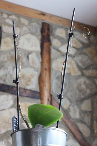 Green Thumb Orchid