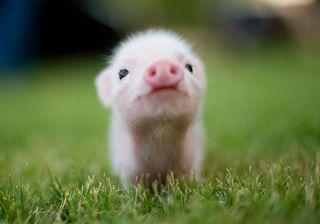 Cute Micro Pig