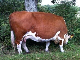 New Forest Cow