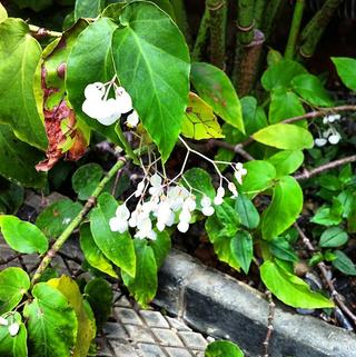 Begonia Augustinei