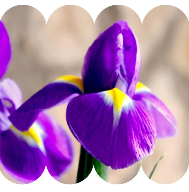 beautiful iris