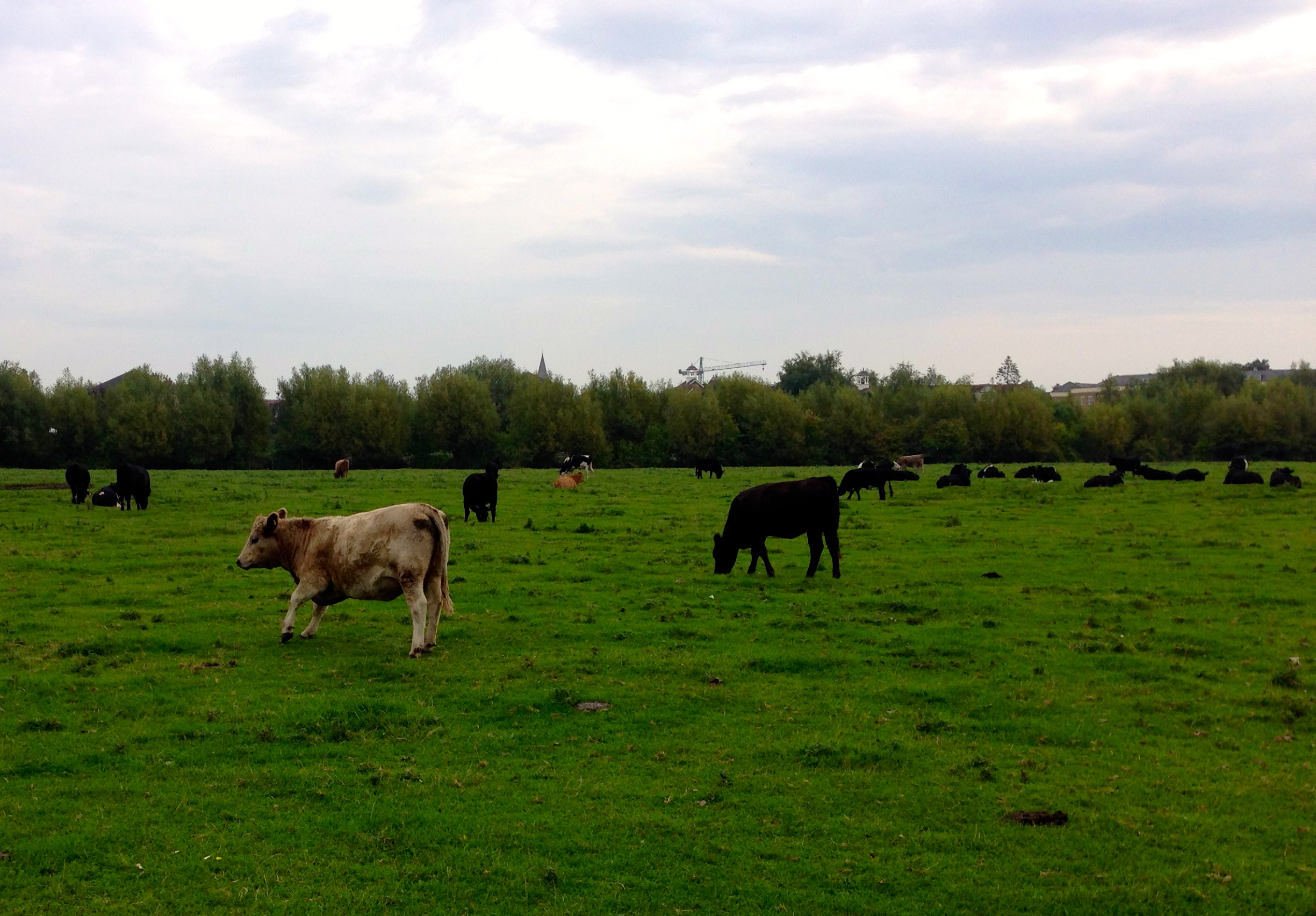 Cows on Port Meadow