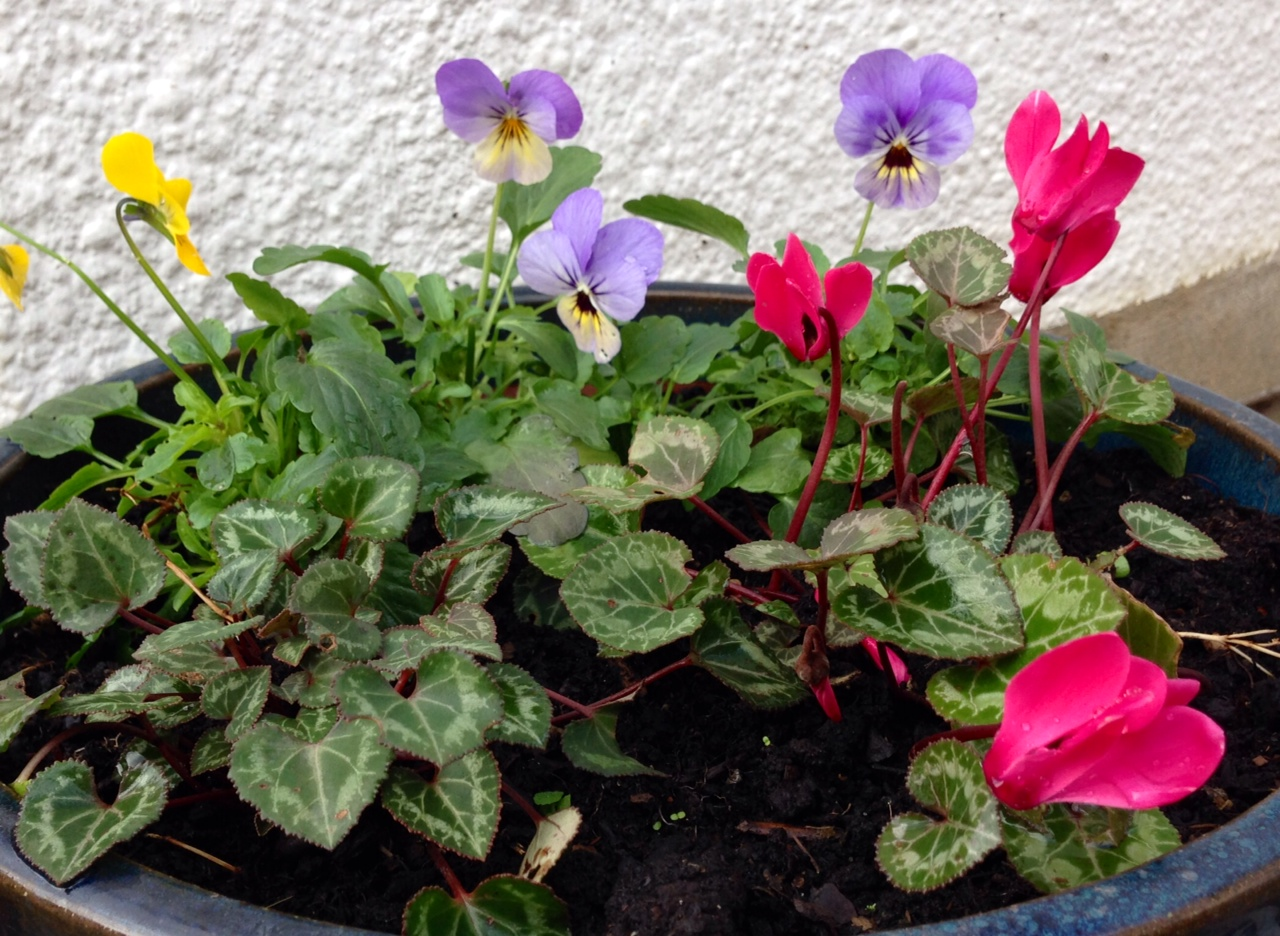 Pansy and cyclamen