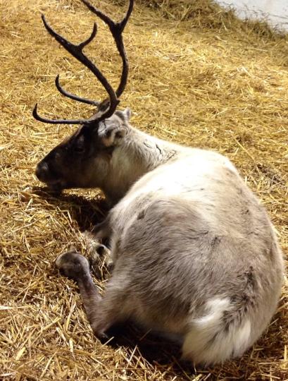 Appleton Reindeer