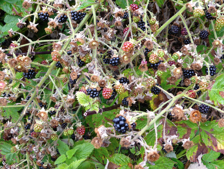 Hogacre Blackberries