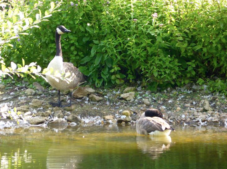 Radley Lakes Ducks