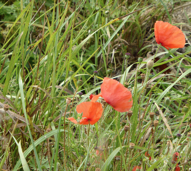 Oxfordshire Poppies