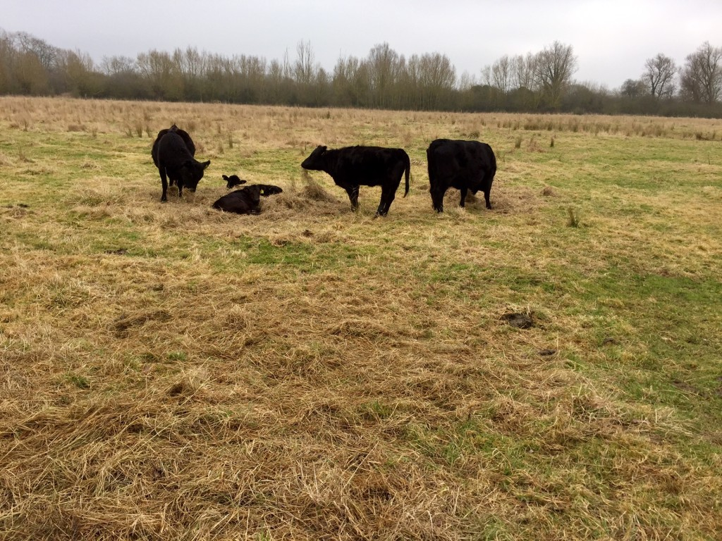 Chimney Meadows Cows