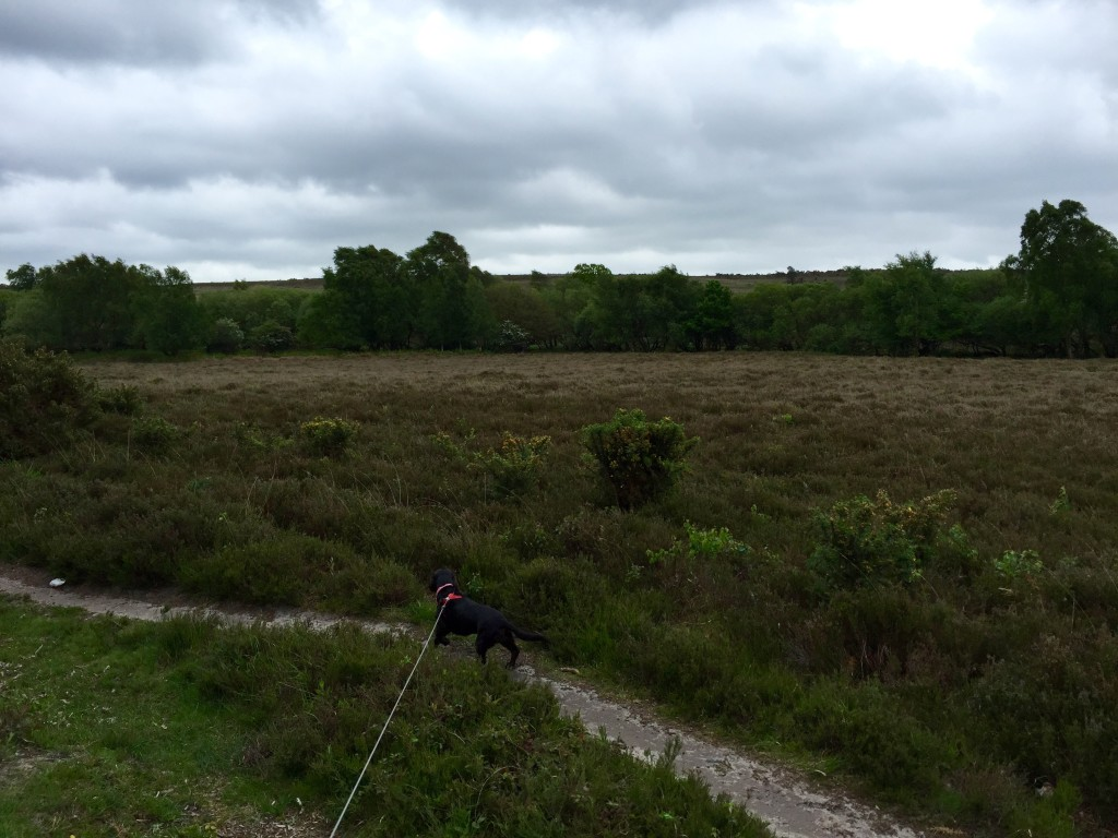 New Forest dog walk