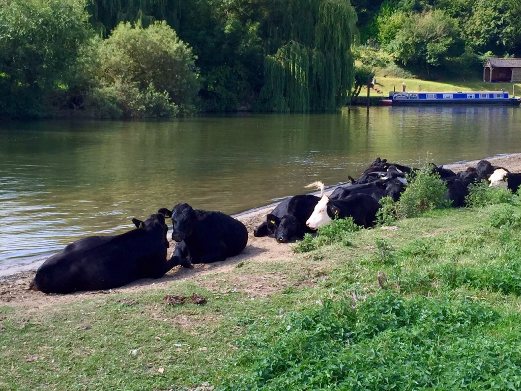 Cows on the Thames path