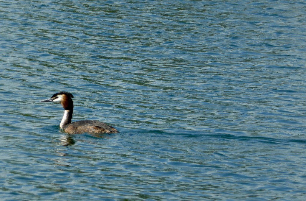 Grebe at Tar Lakes