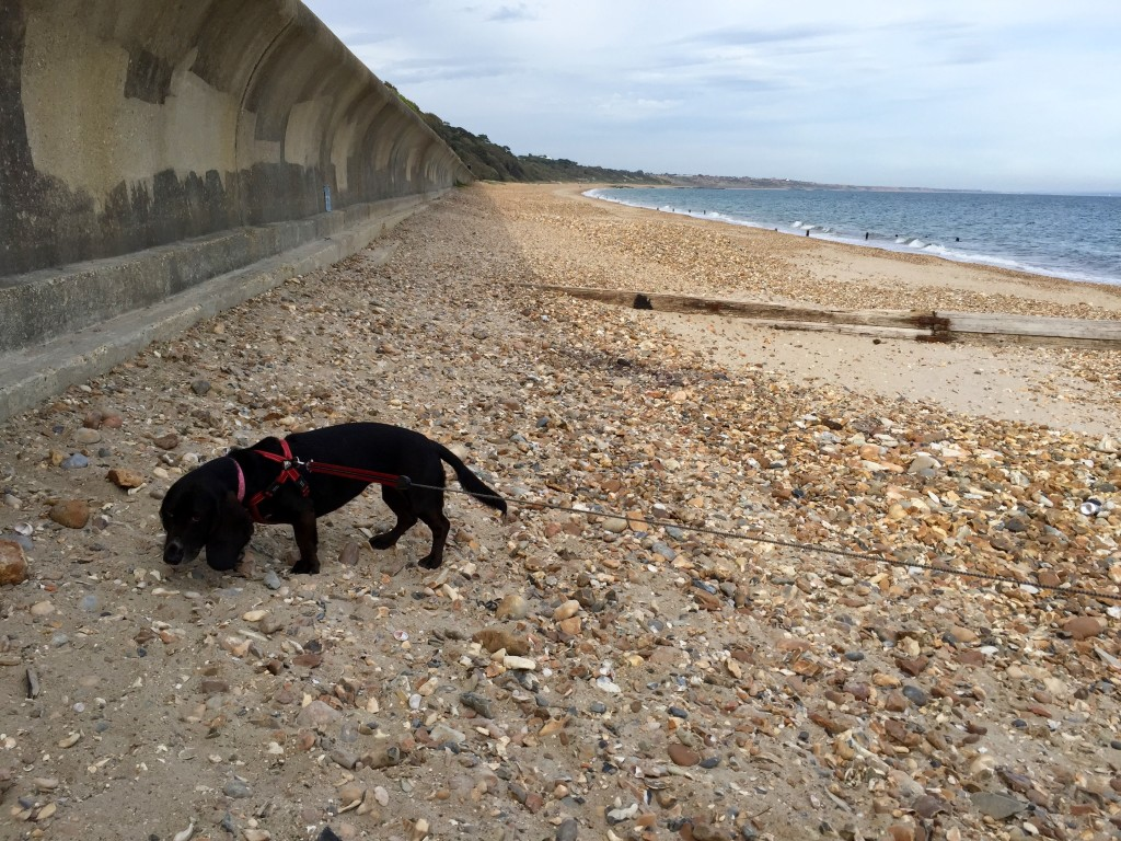Poppy on Highcliffe Castle Beach