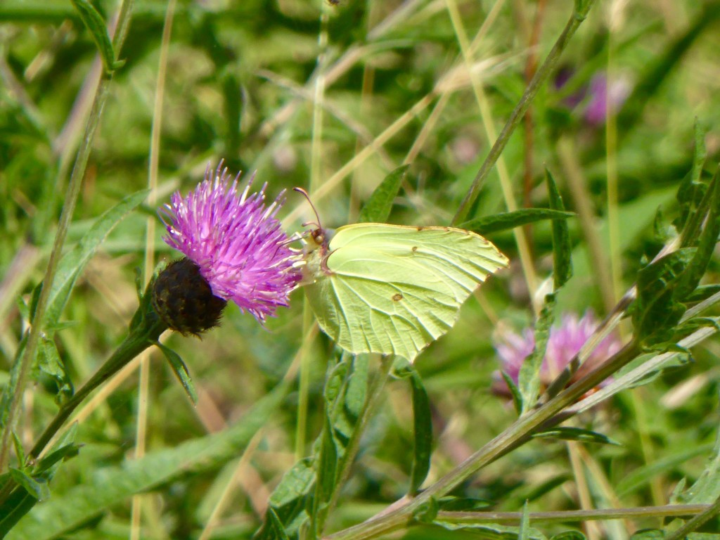 White butterfly on thistle