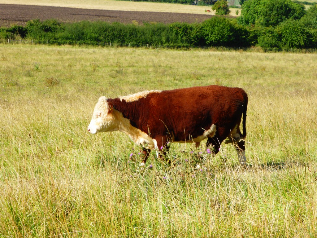 Wittenham clumps cow