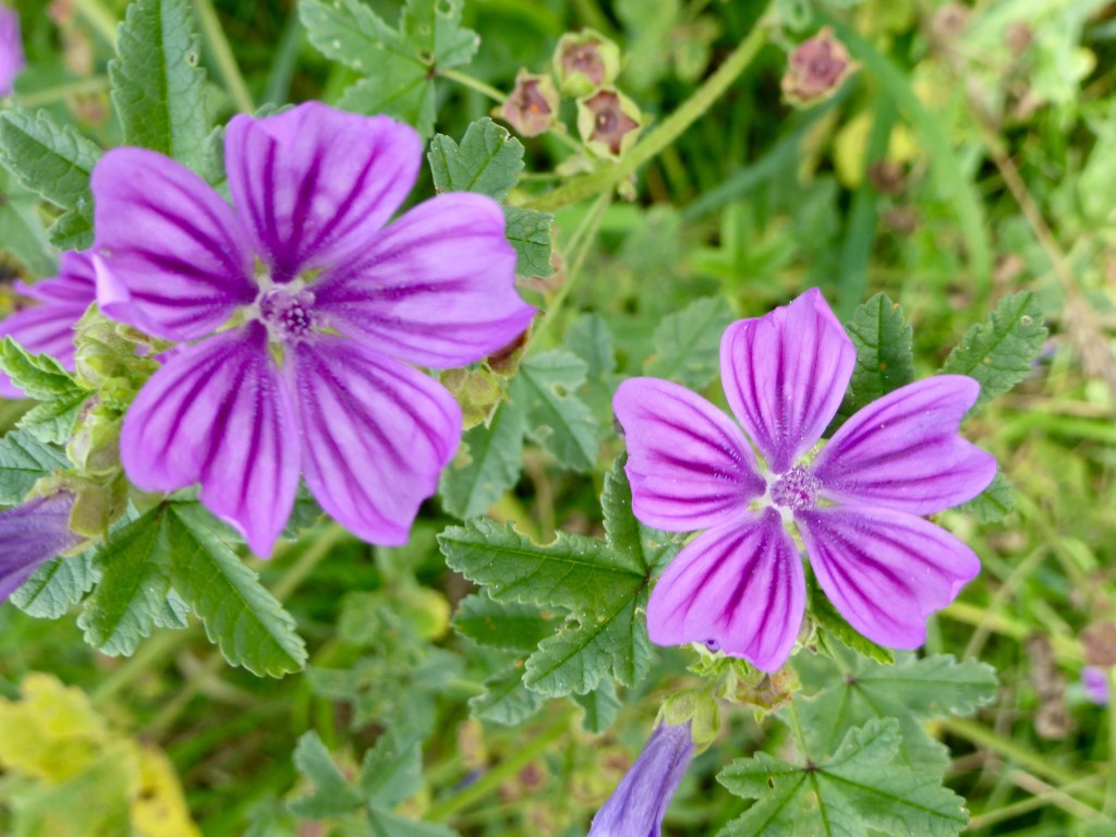 Mallow wildflower