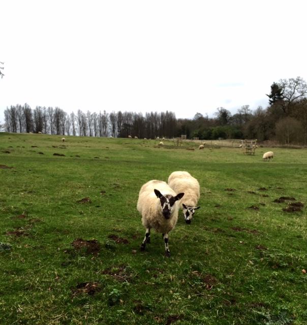 Stowe Garden sheep