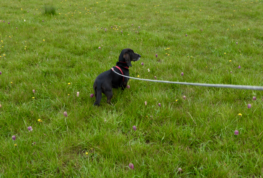 Poppydog at Iffley Meadows
