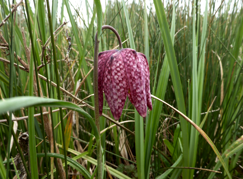 Purple snakehead fritillary