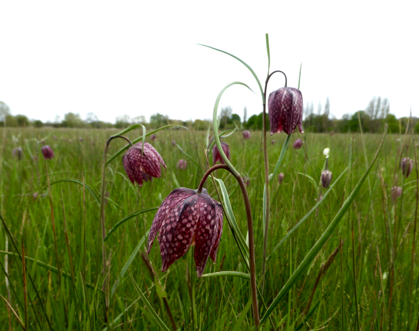 Snakehead fritillary at BBOWT Iffley Meadows