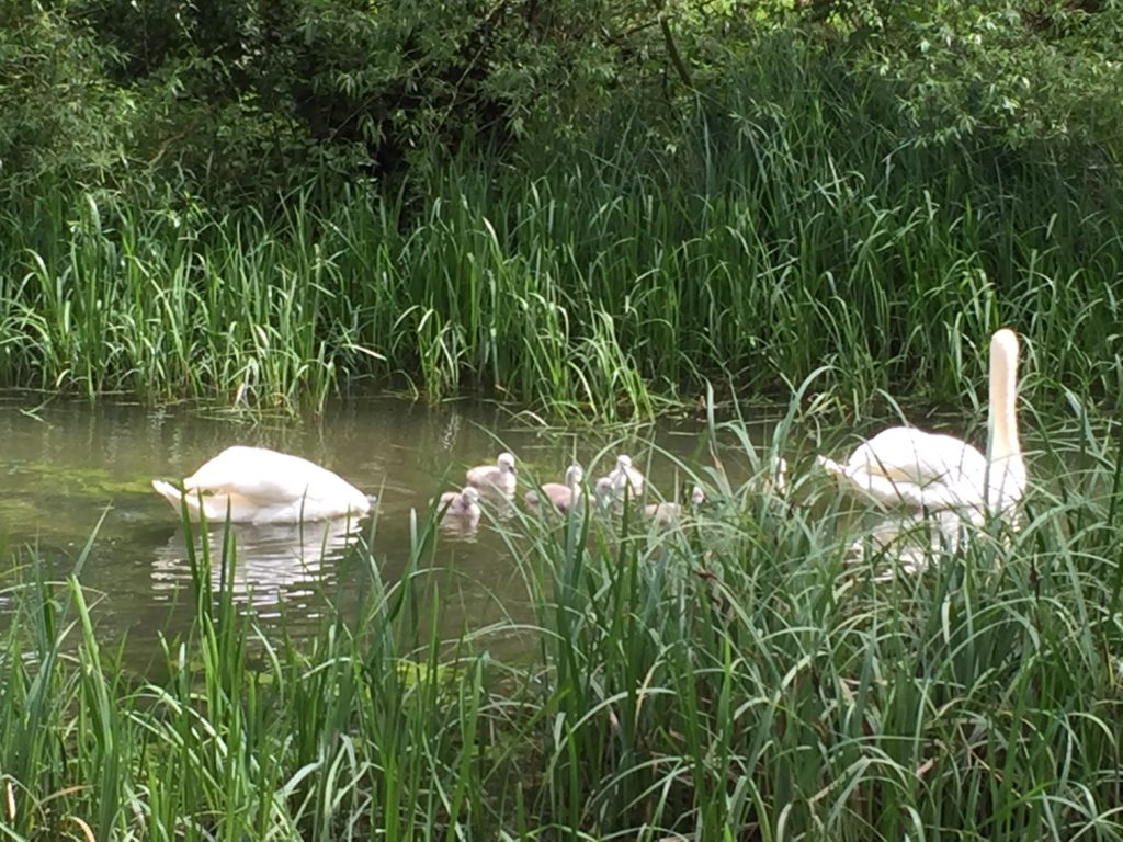 Swans and sygnets