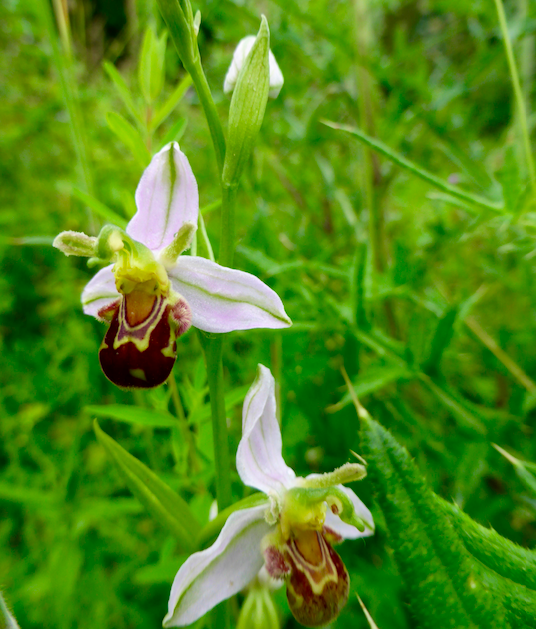 Bee Orchid at Radley Lakes