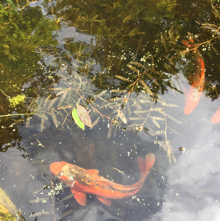Koi fish at Compton Acres