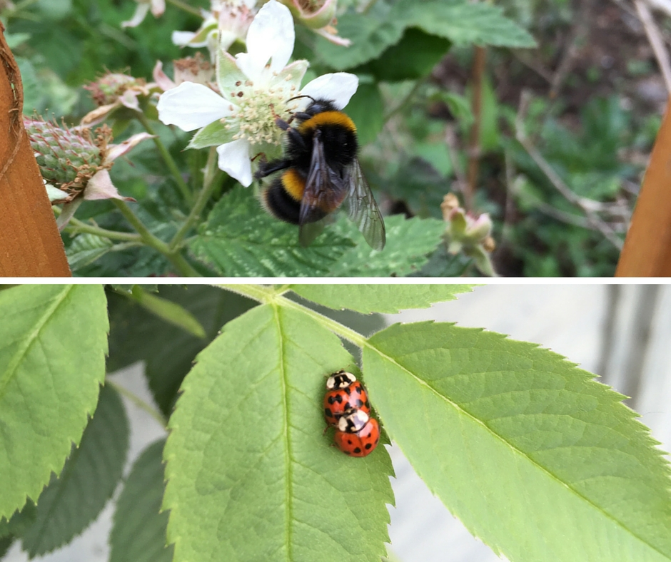 Ladybird couple and bumble bee