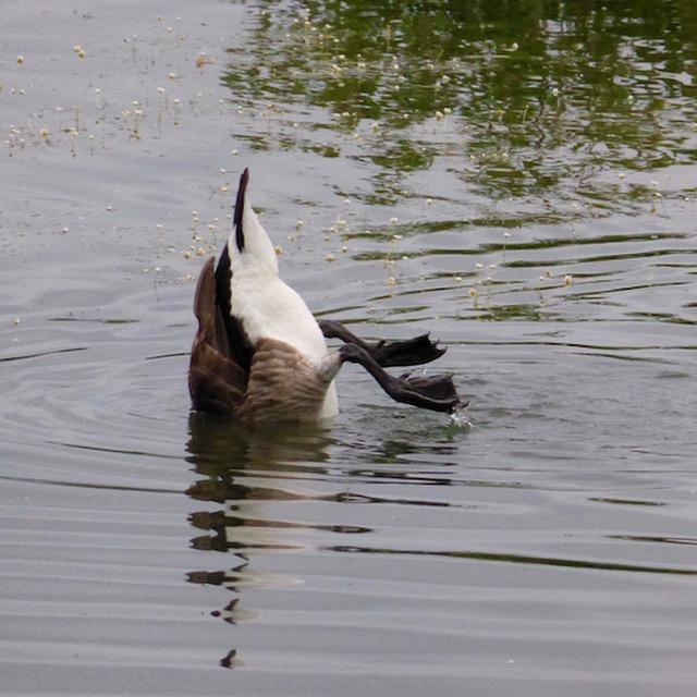 Diving goose