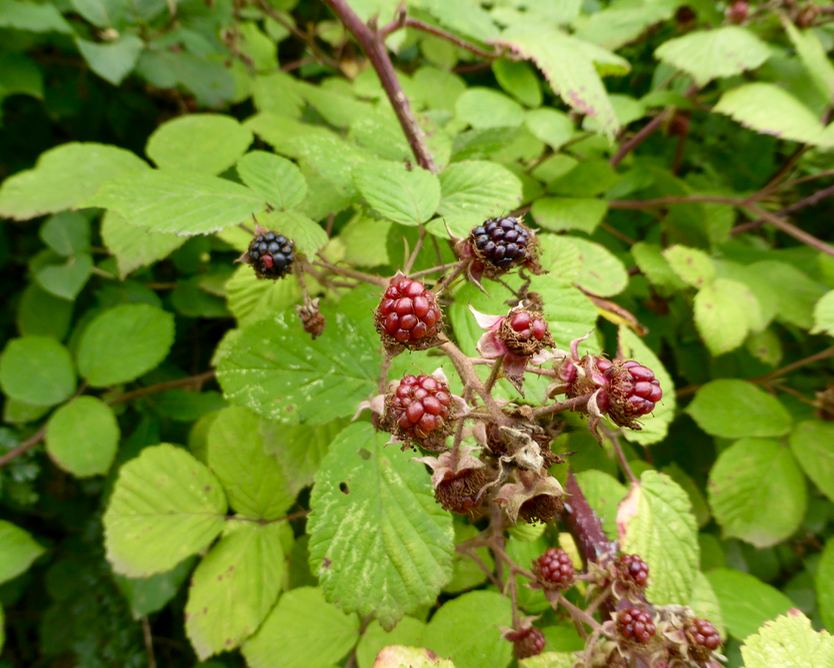 Early blackberries in Bristol