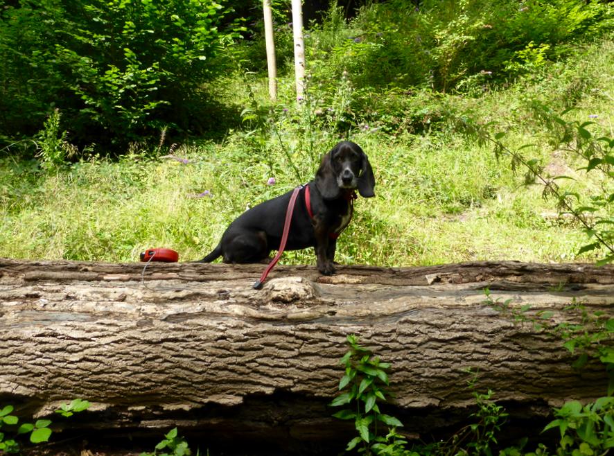 Poppydog in Leigh Woods