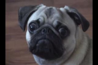 Dramatic Pug