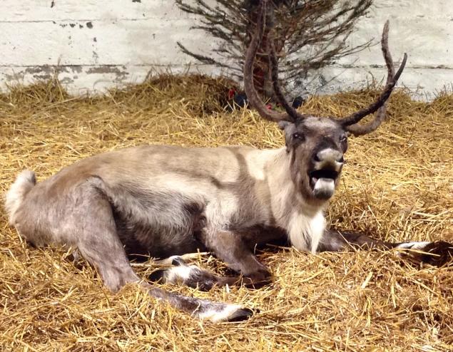 Sleepy reindeer