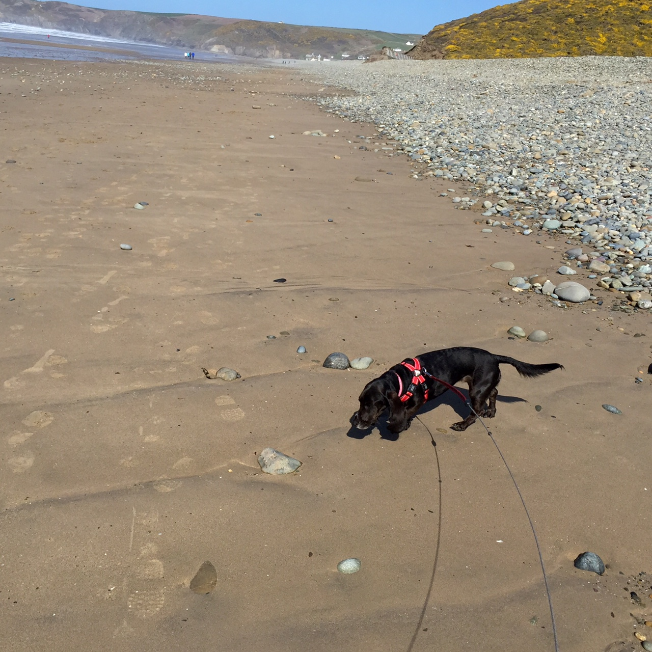 Poppy on Newgale