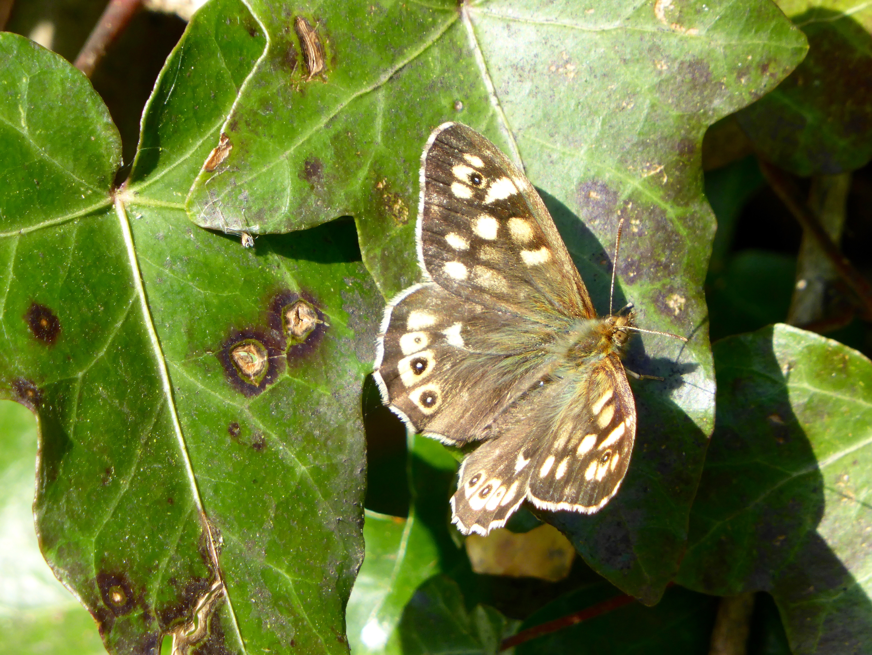 Stratfield Butterfly