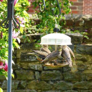 Starlings in the garden