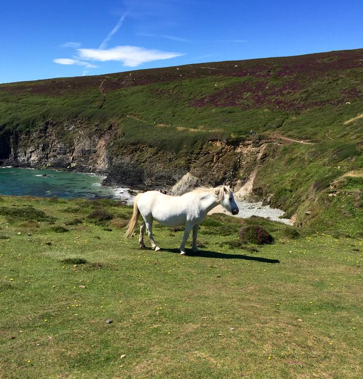 Pembrokeshire pony
