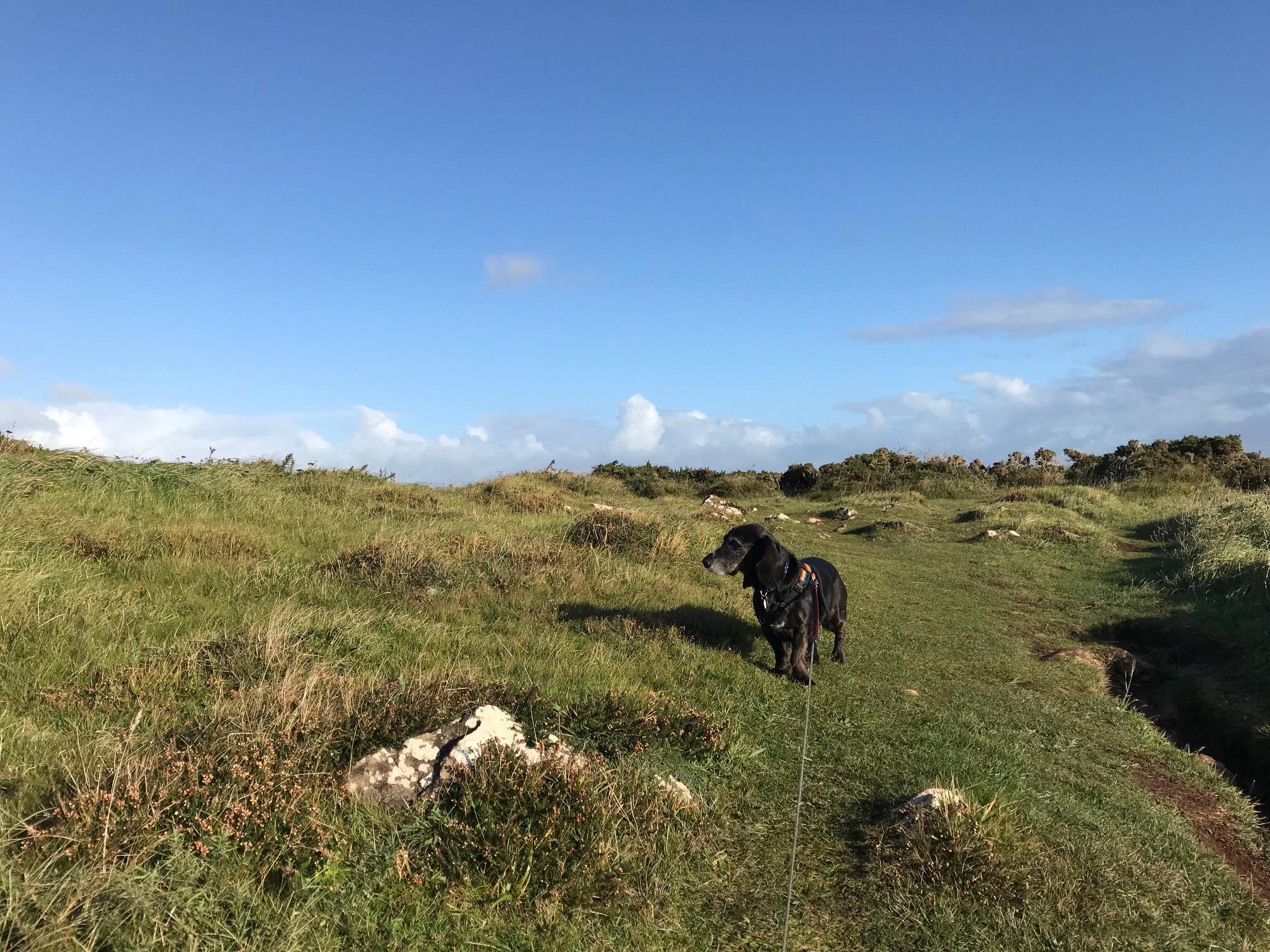 Poppydog on the Cornish coast path